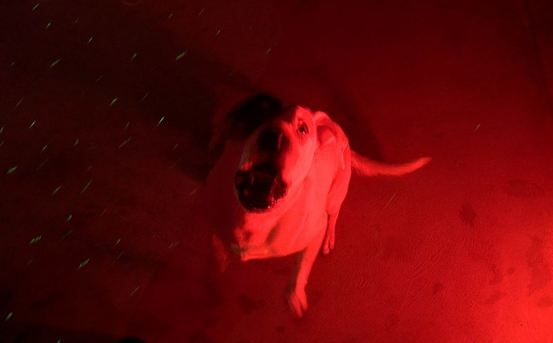 baying-hound